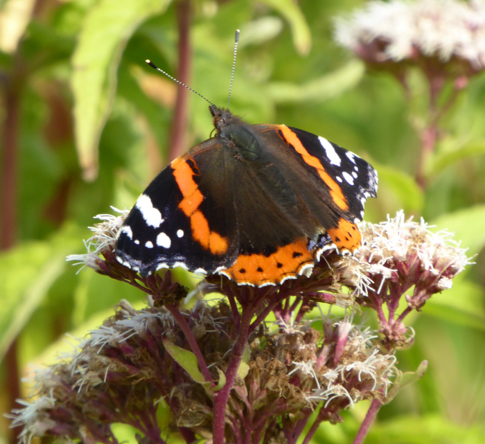 Red Admiral butterfly on Hemp Agrimony