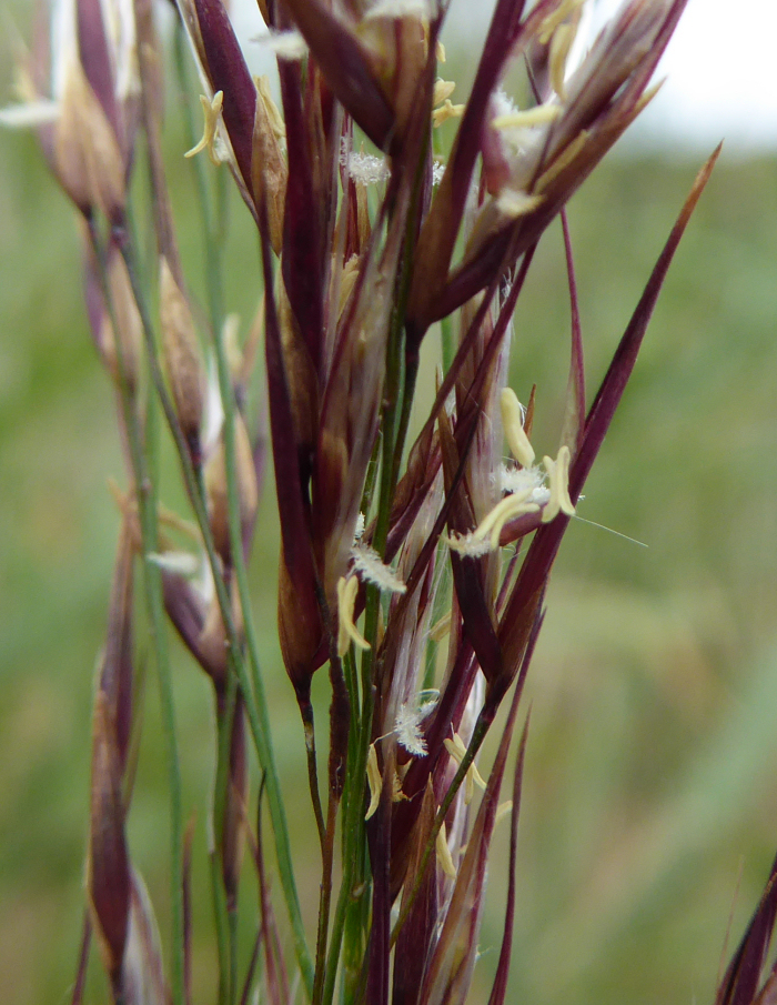 Stamens and stigmas of a reed flower