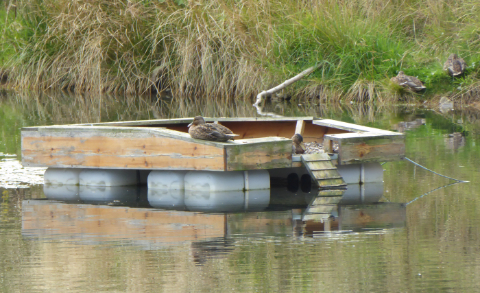 Mallard on the duck raft