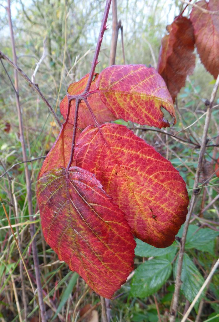 Red Blackberry leaves