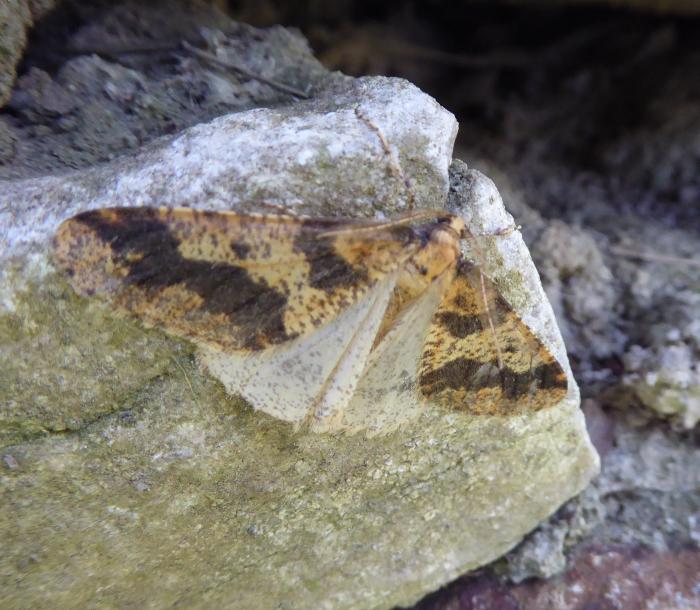 Mottled Umber male