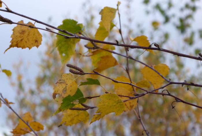 Golden yellow leaves and male catkins of the Silver birch tree