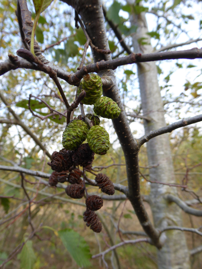 Male catkins and female cones