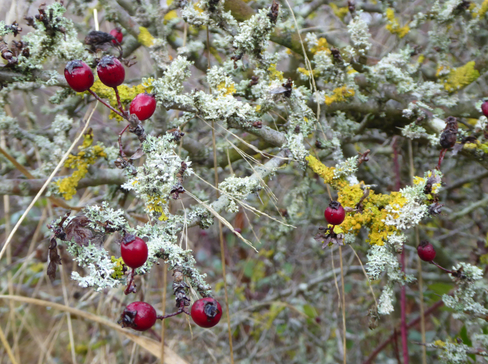 Hawthorn with berries and lichens