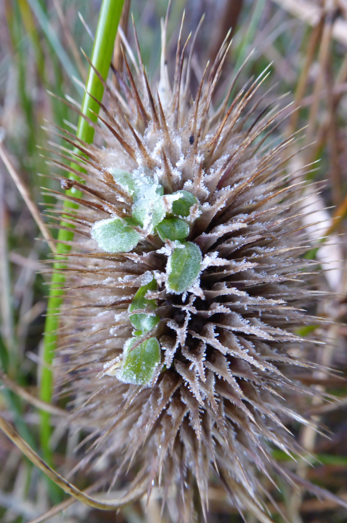Seedlings in Teasel seed head