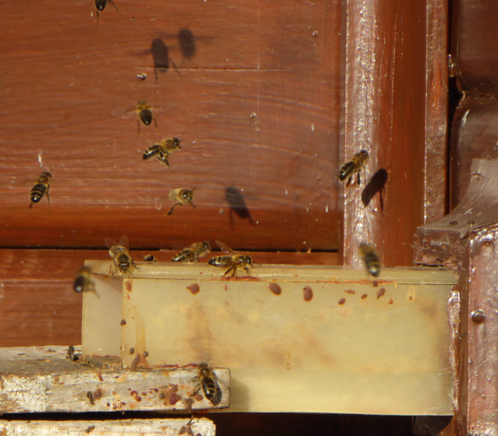 Bees flying outside the hive