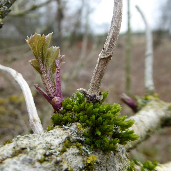 Dry moss on Elder