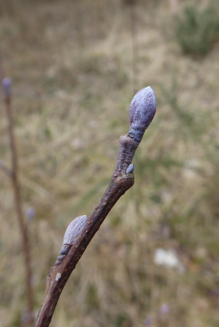 Purple Alder buds