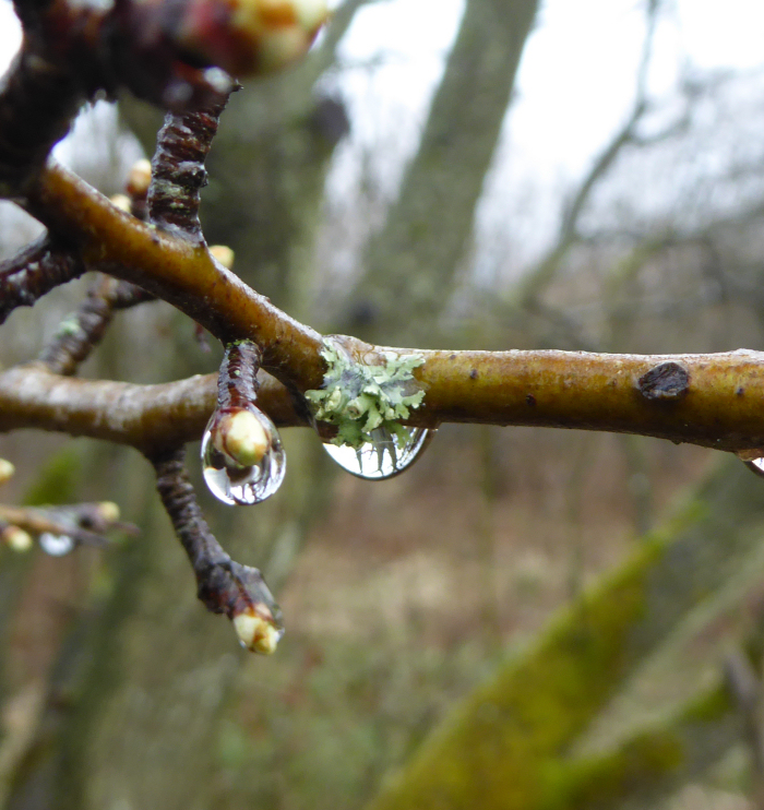 Lichen with its rain drop.