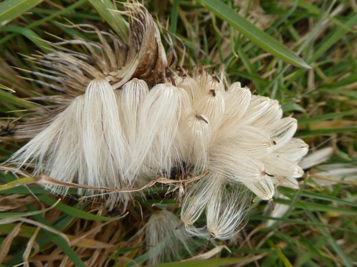 Thistle seed head