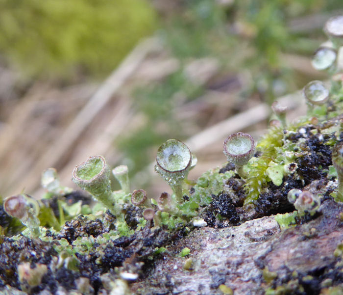 water in the cup lichens
