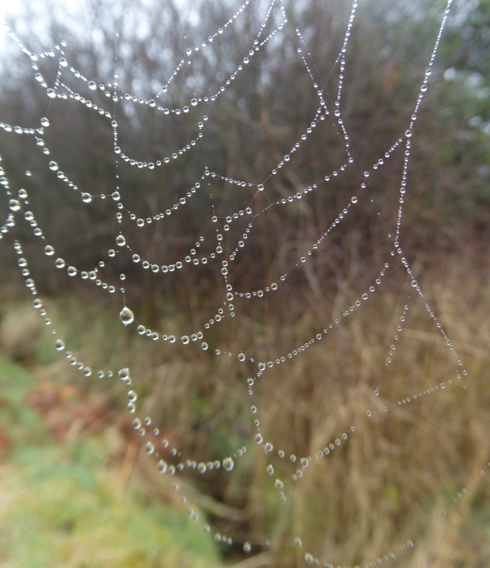 Water droplet covered spider's web