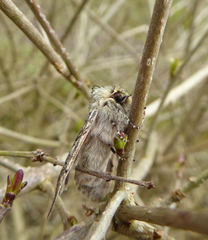 Yellow Horned Moth