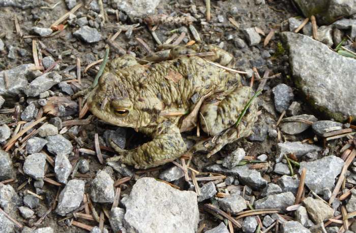 Common toad on path