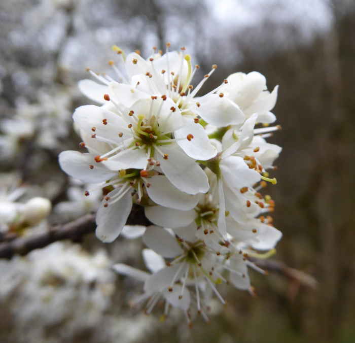 Close up of blackthorn flowers