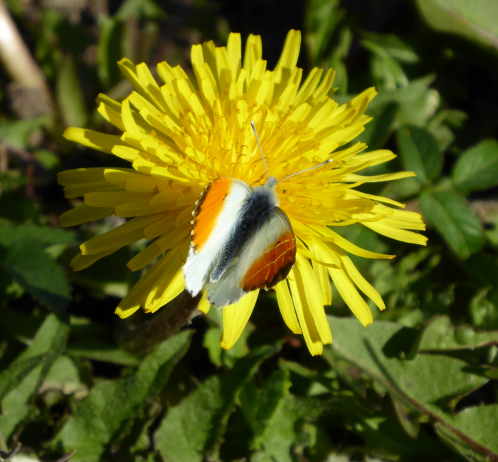 Orange Tip on Dandelion