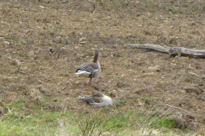 Greylag Geese  on duck field