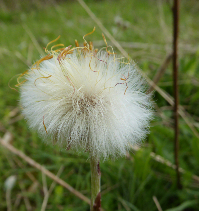 Coltsfoot seed head