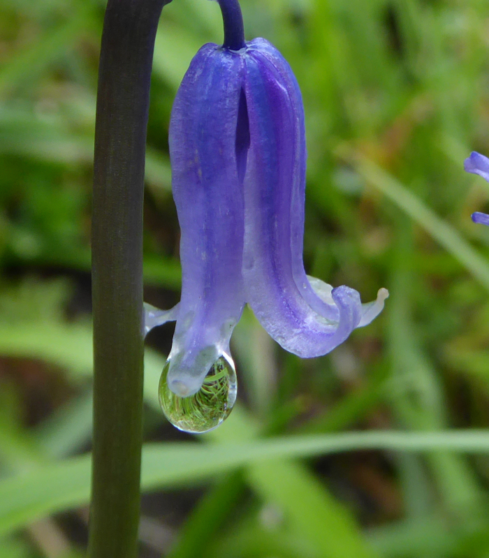 Bluebell with water droplet