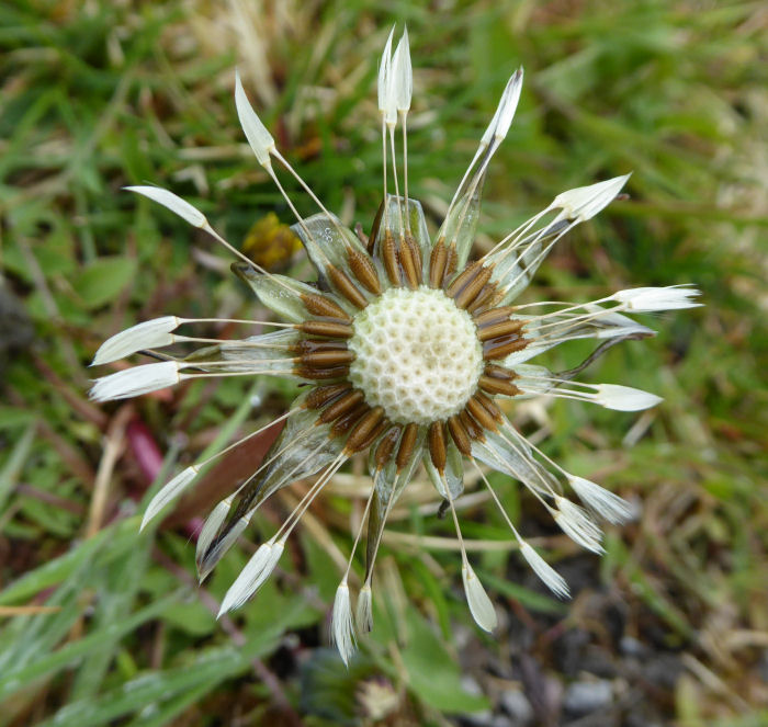 Dandelion like seed head