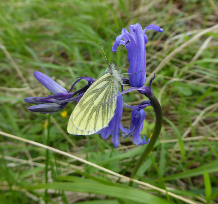 Green Veined White on a Bluebell