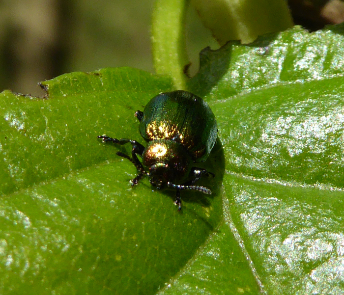 A green beetle