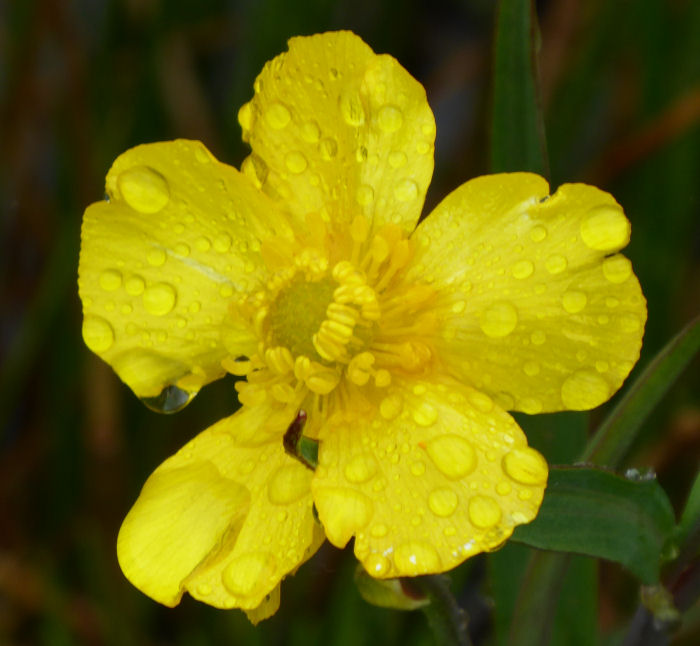 Greater Spearwort covered in water droplets