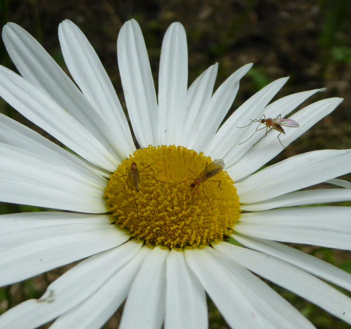 Insects on Dog Daisy