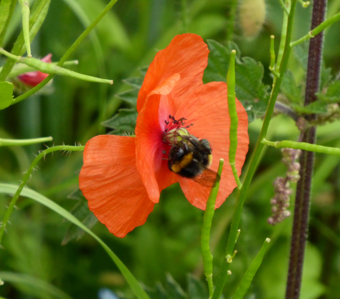 Bee in Red Poppy