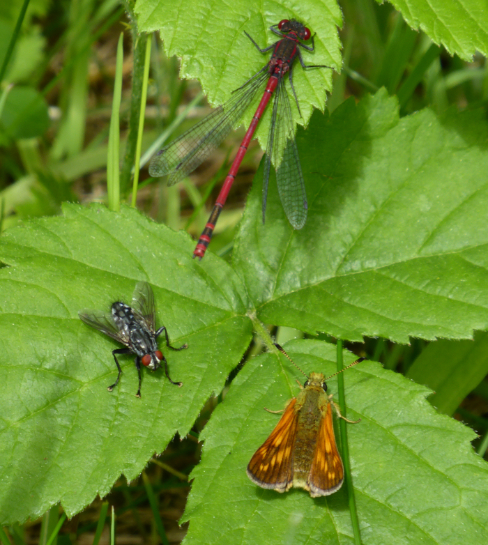A damselfy, a skipper buttefly and a fly