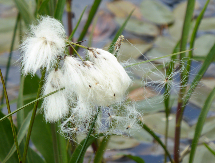 Cotton Grass releasing seed