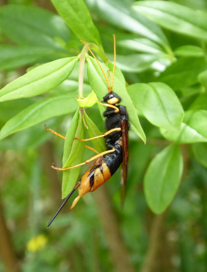 Horntial or Wood Wasp