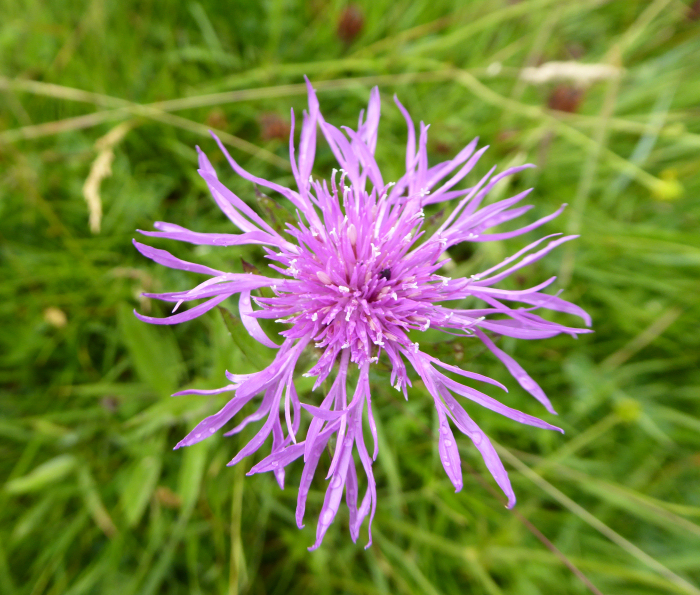Rayed Knapweed