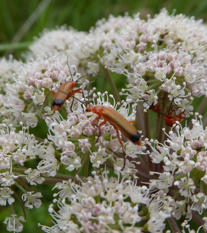 Soldier Beetles on Angelica