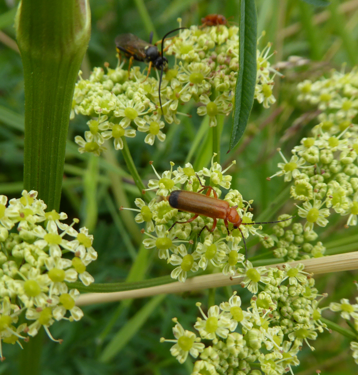 Soldier Beetles on Pepper Saxifrage