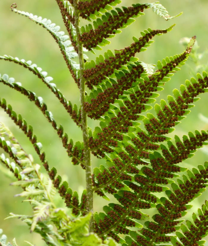 Ripening spores on a fern frond
