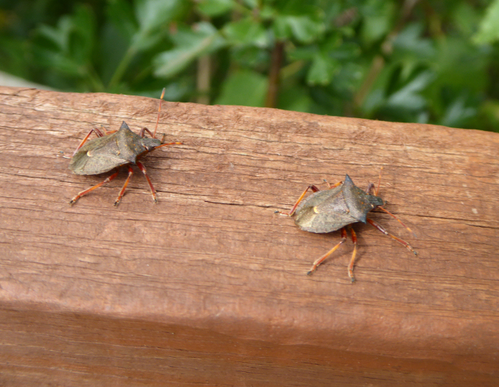 Shieldbugs