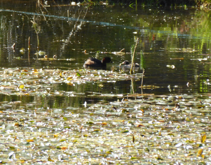 Adult Little Grebe and chick
