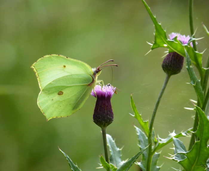 Brimstone Butterfly feeding on thistle flower