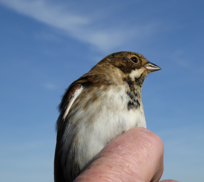 Male juvenile Reed Bunting