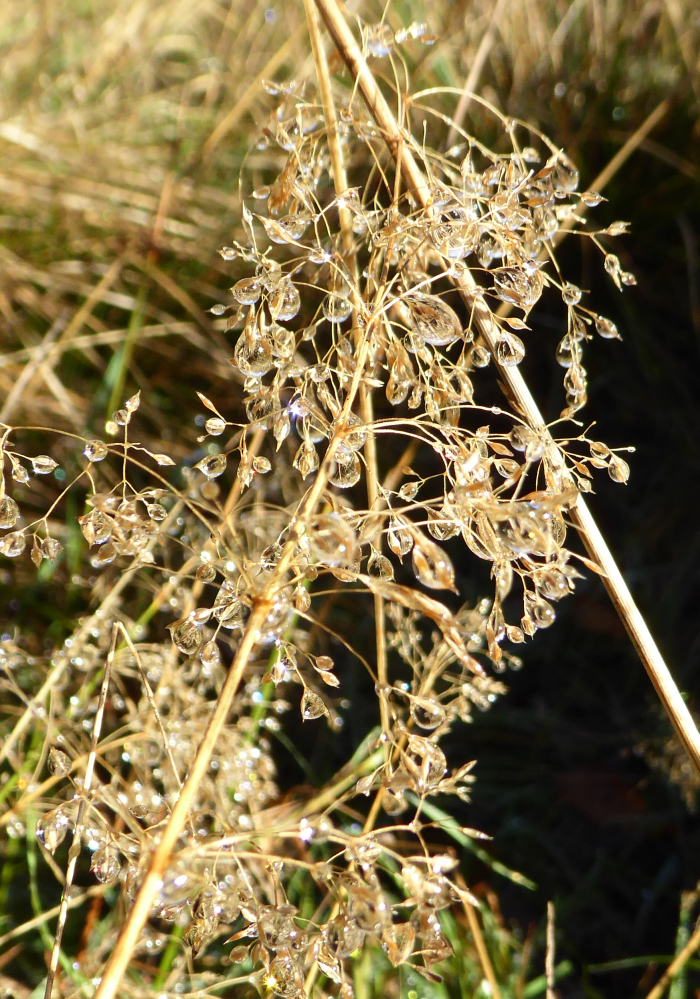 Water droplets on grass seed head