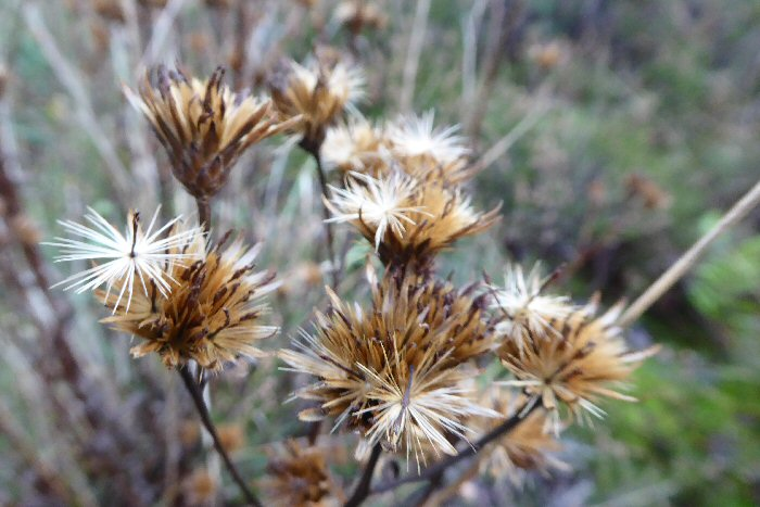 Seed heads on Saw-wort