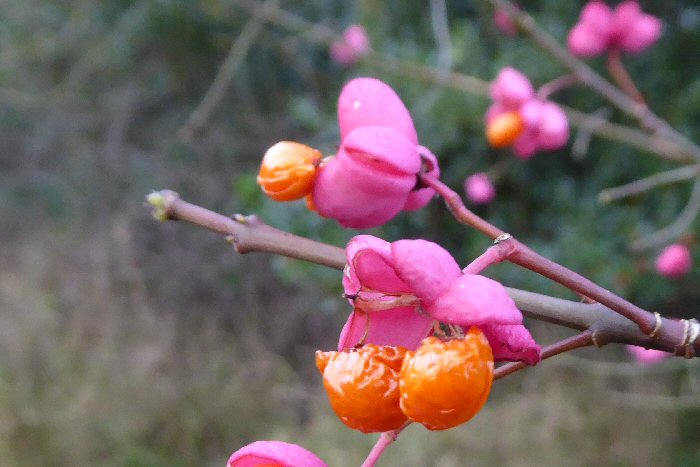 Spindle fruits