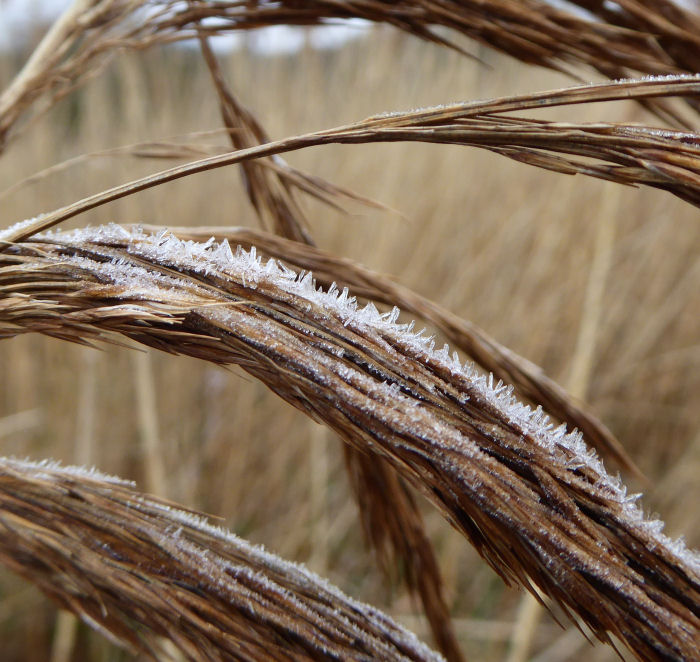 Phragmites covered in frost