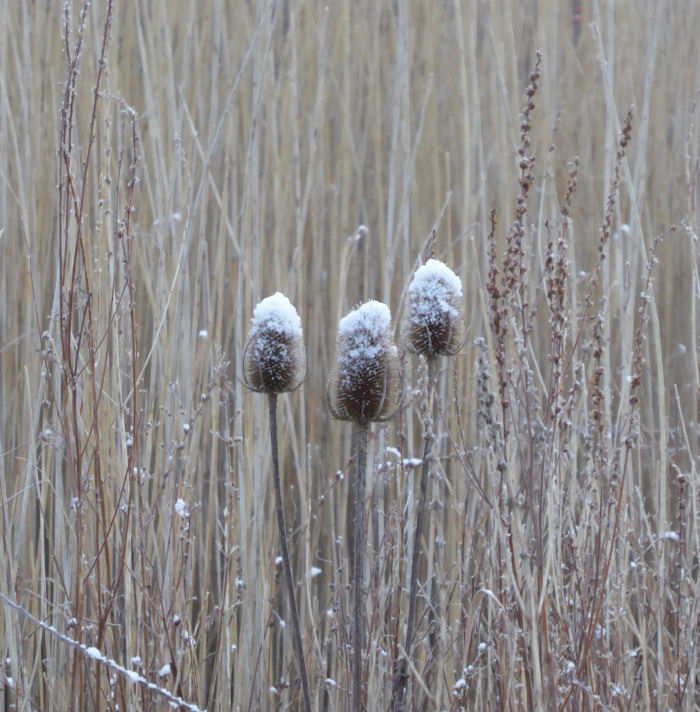 Snow covered Teasel heads