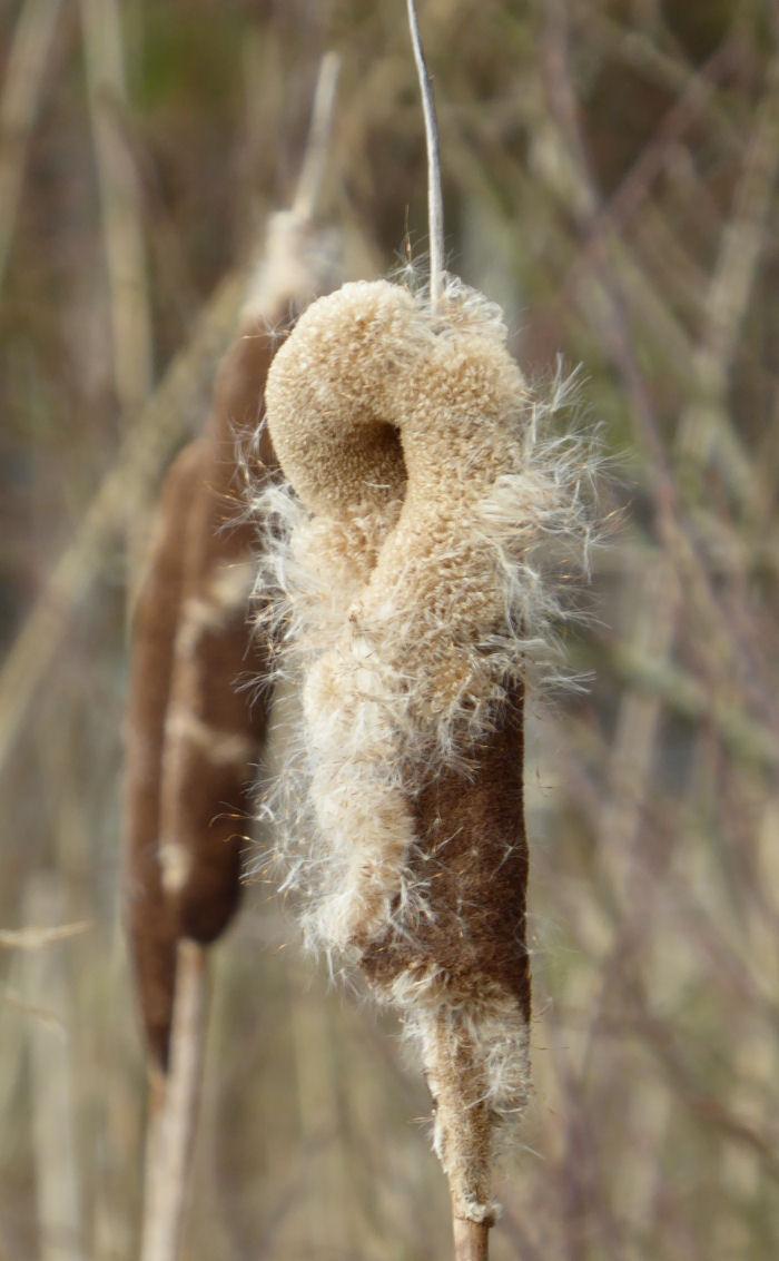 Bulrush seed head