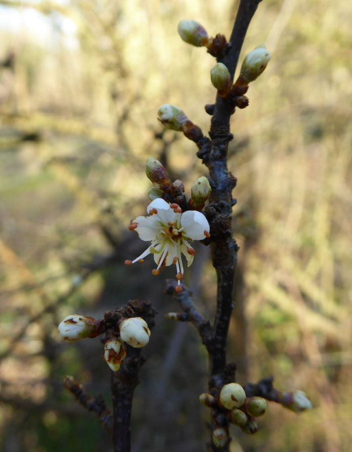 A single Blackthorn flower