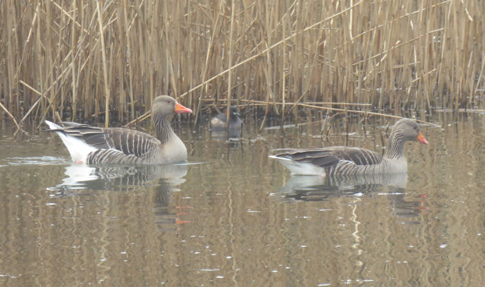 Greylag Geese with something hiding behind them