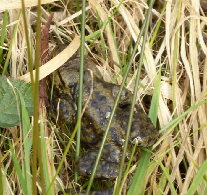 Hiding Common toad