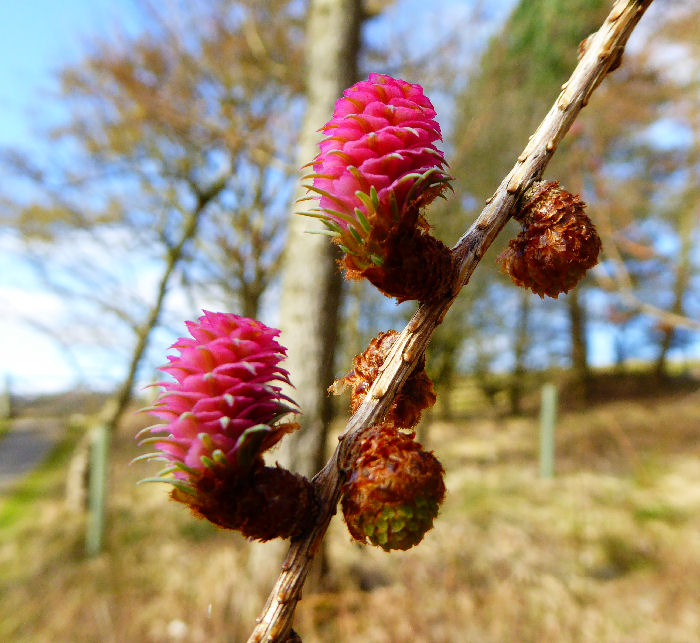 Male and female Larch flowers